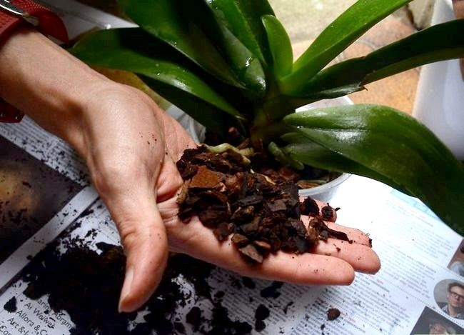 Titel afbeelding Repot an Orchid Step 5