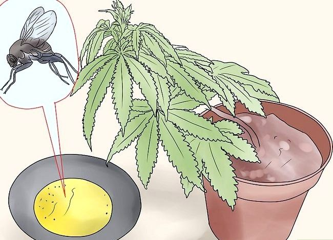 Titel afbeelding Use Home Remedies to Get Rid of Gnats Step 18